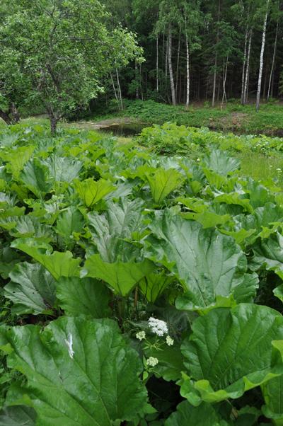 Rhubarb fields forever