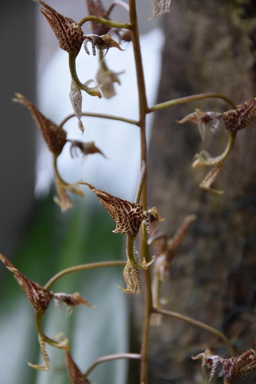 Huvitav orhidee, eksole